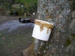 Collecting Sycamore Sap for Syrup