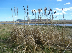 Reed Mace by the Tay Estuary