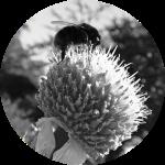 Bee on Globe Thistle