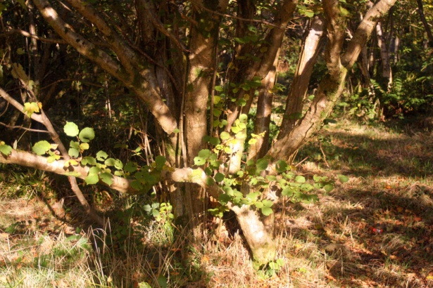 Hazels to coppice at Duchess Woods