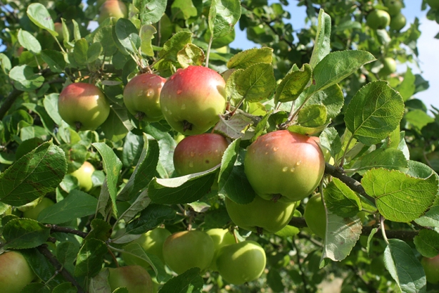 Apples Pears Plums Other Fruity Products Plants With Purpose Appletreeman