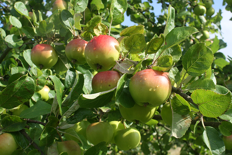 below is a list of the apple varieties we will have available as oneyear maidens for bareroot planting in winter youu0027ll find some wellknown