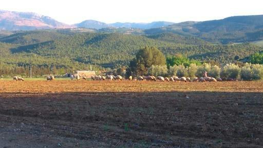 Berber Brebis