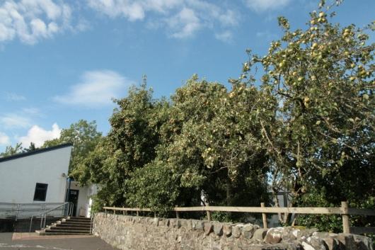 Pear Trees on Mull