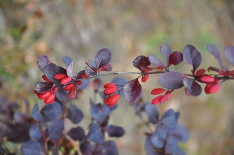 Berberis_thunbergii_Japanese_Barberry_1000