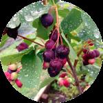 Berries_500